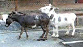 Donkeys Attempting to Mate
