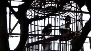 Kumpulan Video Aksi Kacer Lokal Jawara | Khusus Kacer Mania