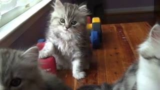 Kaerik RagaMuffin KittensWish Upon a Star Litter nine weeks old.mp4