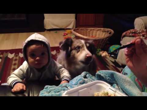 Hungry dog is trying to conversate when begging for food. #FUNNY