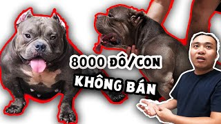 Đàn chó lực sĩ cơ bắp, mỗi ngày ăn 6 kg ức gà sống nhưng hiền khô, giá hàng chục ngàn đô