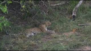 Feb 05 2018 - Great Pre Recorded Clip of our Thandi and her Female Cub