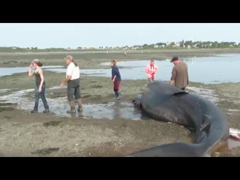 Beached Shark in Lubec, Maine Helped by People
