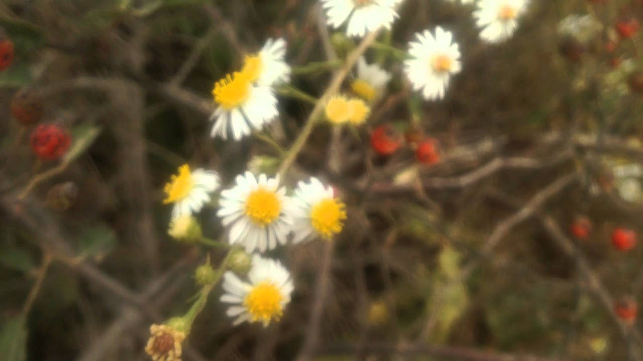 Tiny Daisy Like Flowers Changing In The Cold Youtube