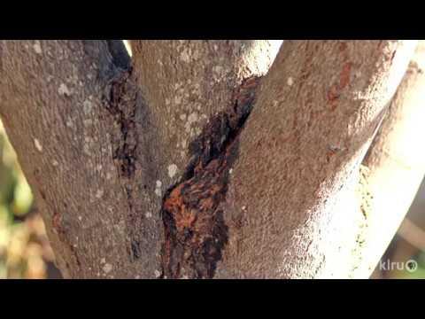 Split In Redbud Tree Limb   Daphne Richards   Central Texas Gardener