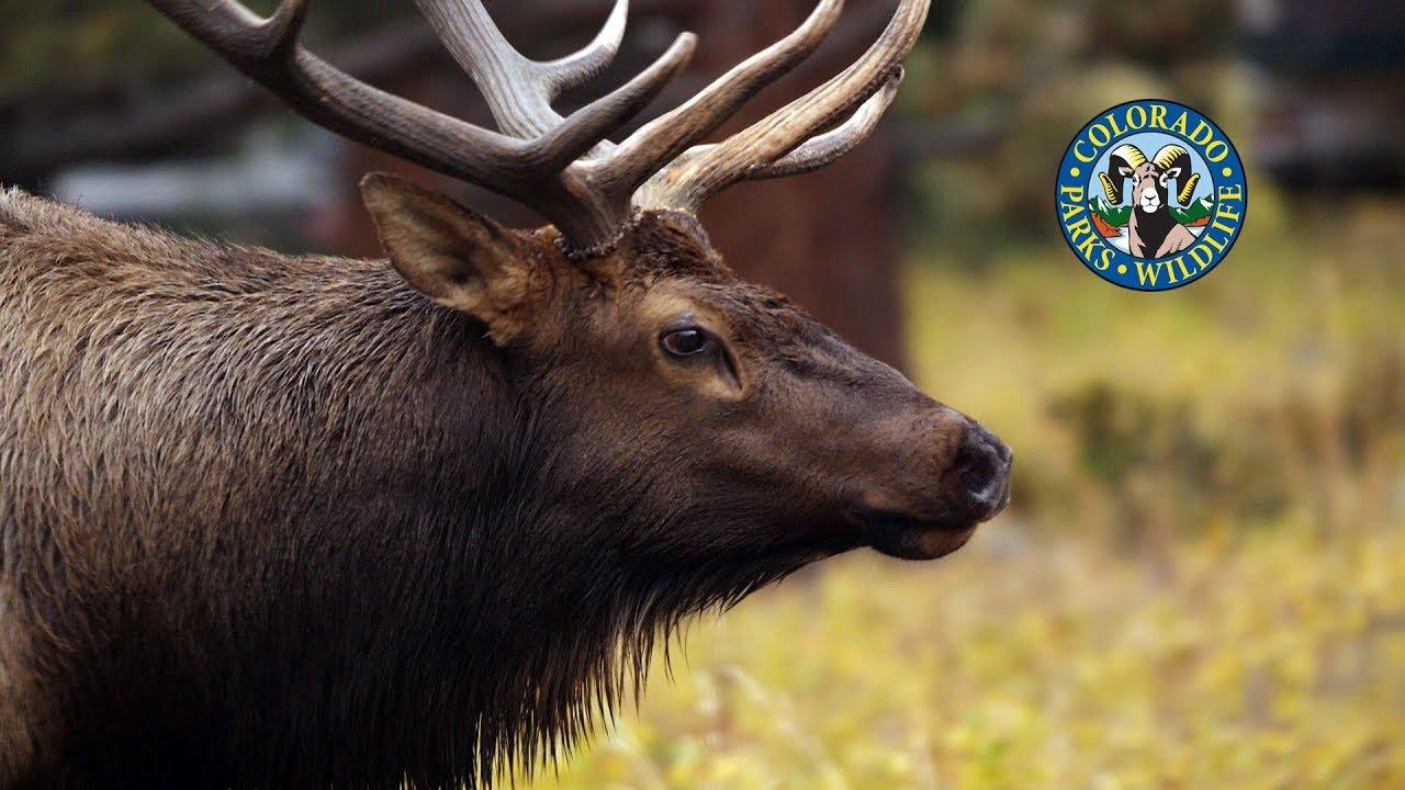 Livin' the Wildlife: Rocky Mountain Elk - YouTube