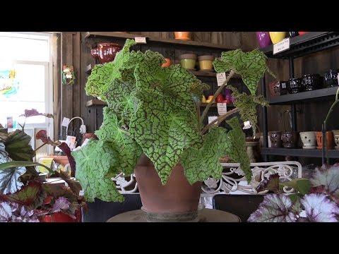 How to grow Rex Begonias