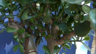 Денежное дерево у входа в китайский офис  Сильная обрезка денежного дерева(Как можно легко разделить куст денежного дерева на самостоятельные растения.Как красиво можно сформироват..., 2015-04-01T03:02:59.000Z)