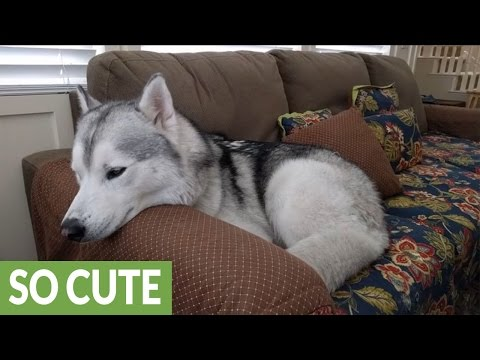 Hiccuping husky tries to sleep