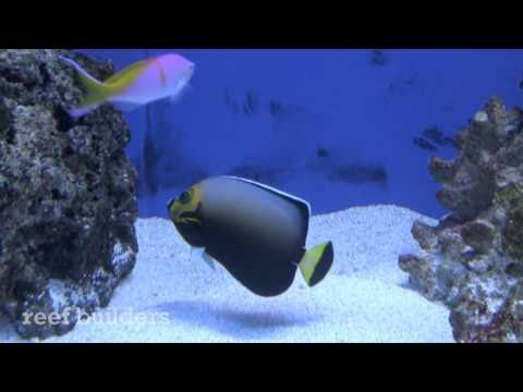 Conspicouous Angelfish