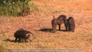Дикая природа Африки Павианы анубисы У каждого самца своя Арина Родионовна Olive baboons Kenya