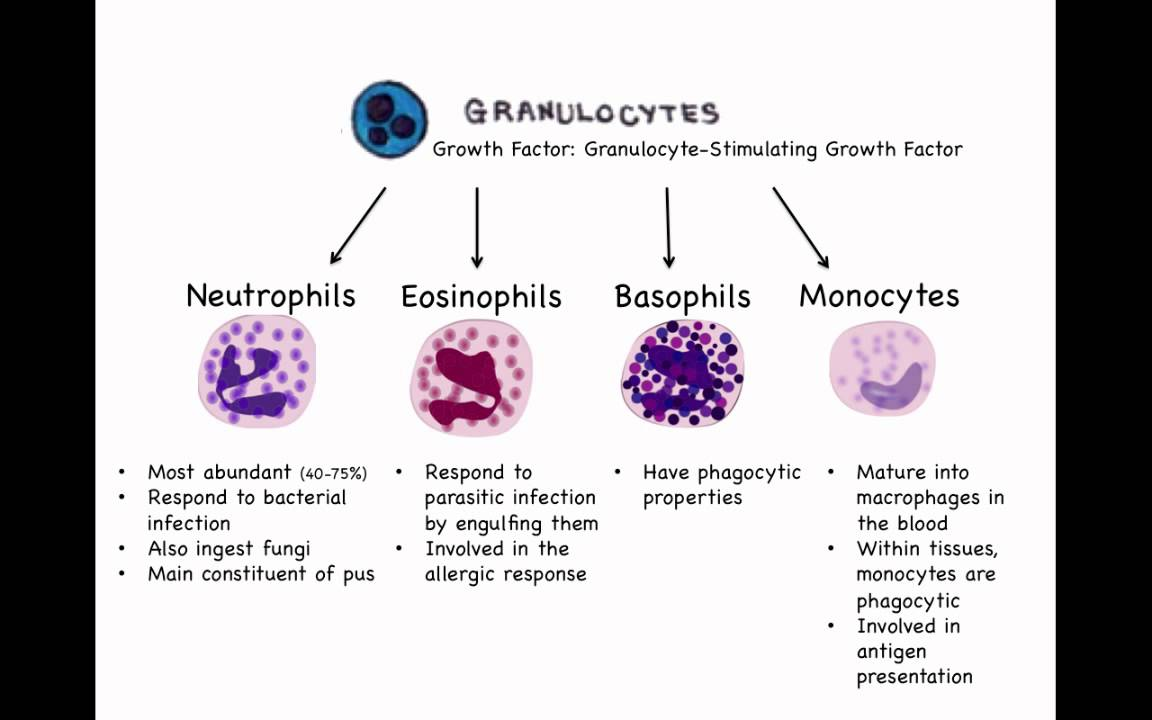 Serotonin And Substance P additionally 30439199850 additionally Difference Between Granulocytes And Agranulocytes likewise 2215 moreover Watch. on immune cell