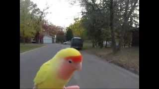 lovebird free fly (free flight)