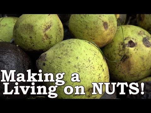 Busting NUTS (Everything You Need To Know)! | Black Walnuts As Wild EDIBLE Survival Food!