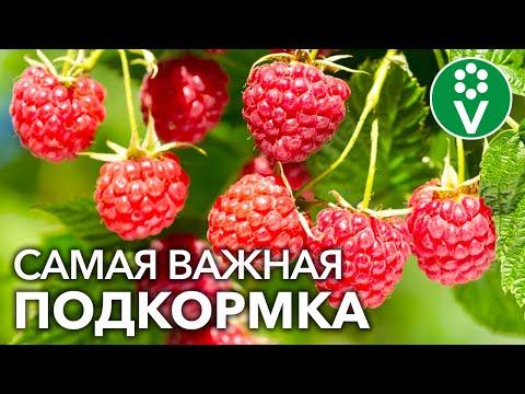 После ЭТОЙ ПОДКОРМКИ МАЛИНЫ ВЕСНОЙ вы будете собирать урожай ягод ведрами!