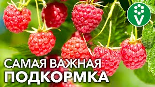 После ЭТОЙ ПОДКОРМКИ МАЛИНЫ ВЕСНОЙ вы будете собирать урожай ягод ведрами