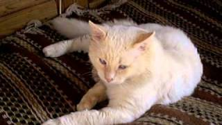 Невский маскарадный кот в добрые руки