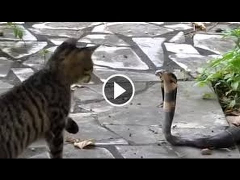 funny kittens videos -funny cats videos | Top Funny Cats vs Snakes/Funny cat vs snakes compilation
