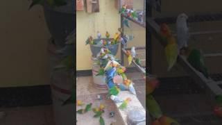 Download Video Ternak lovebird sistem koloni my home/agapornis aviari ( lb pensiunan lomba) MP3 3GP MP4
