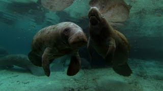 Manatee Protects Her Calf | North America