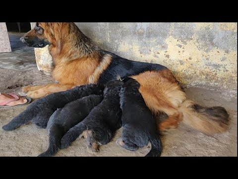 German Shepherd Longcoat  Puppy For Sale   Doggyz World   9896504757,9053119992,9053119990