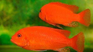 Красная зебра - рыбы для больших аквариумов купить(Купить прямо сейчас рыбку для аквариума Красная зебра на сайте http://aquazona.com.ua/cat/akvariumnai_riba/ribka/index.html по самым..., 2014-02-10T14:22:30.000Z)