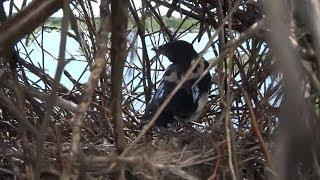 Сорока воровка! Проверил гнездо, а там...