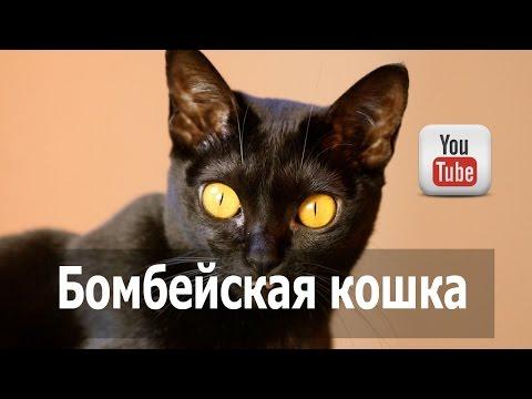 Бомбейская кошка , черная порода кошек.