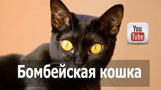 Бомбейская кошка (бомбей), черная порода кошек