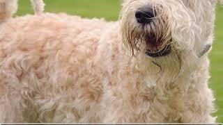 Soft Coated Wheaten Terrier  Dog Breed  Pet Friend