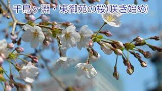 2017.3.30_千鳥ヶ淵・東御苑の桜(咲き始め) thumbnail