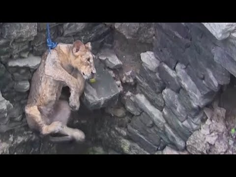 Lion cub rescued from 80-foot well in India