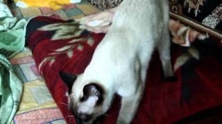 Кот Арни топчет одеяло
