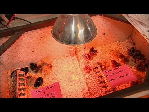 Raising Backyard Chickens Heat Lamps And Baby Chicks Youtube