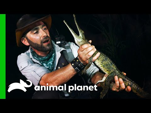 Coyote Is Bitten By An Australian Freshwater Crocodile   Coyote Peterson: Brave The Wild