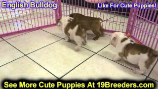English Bulldog, Puppies, For, Sale, In, Olathe, Kansas, County, Ks, Fairfield, Litchfield, Middlese