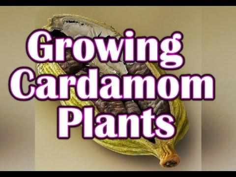 How to Grow Cardamom Plant Grow Cardamom Plant from Seeds Gardening Growing Cardamom Spice (Hindi)