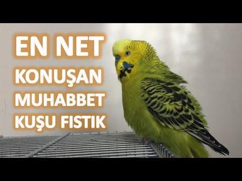 En net konuşan muhabbet kuşu Fıstık #Dinlet konuşsun
