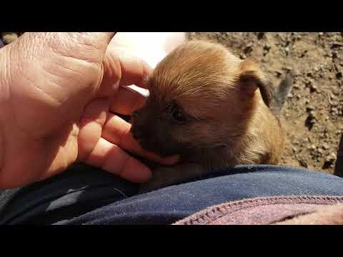 DanBarRanch Cairn terriers 2.21.20
