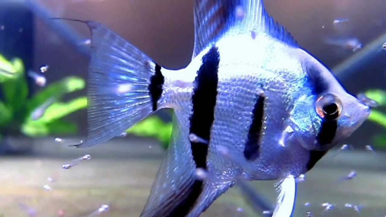 Blue Angelfish Parents Close Up Zoom Youtube