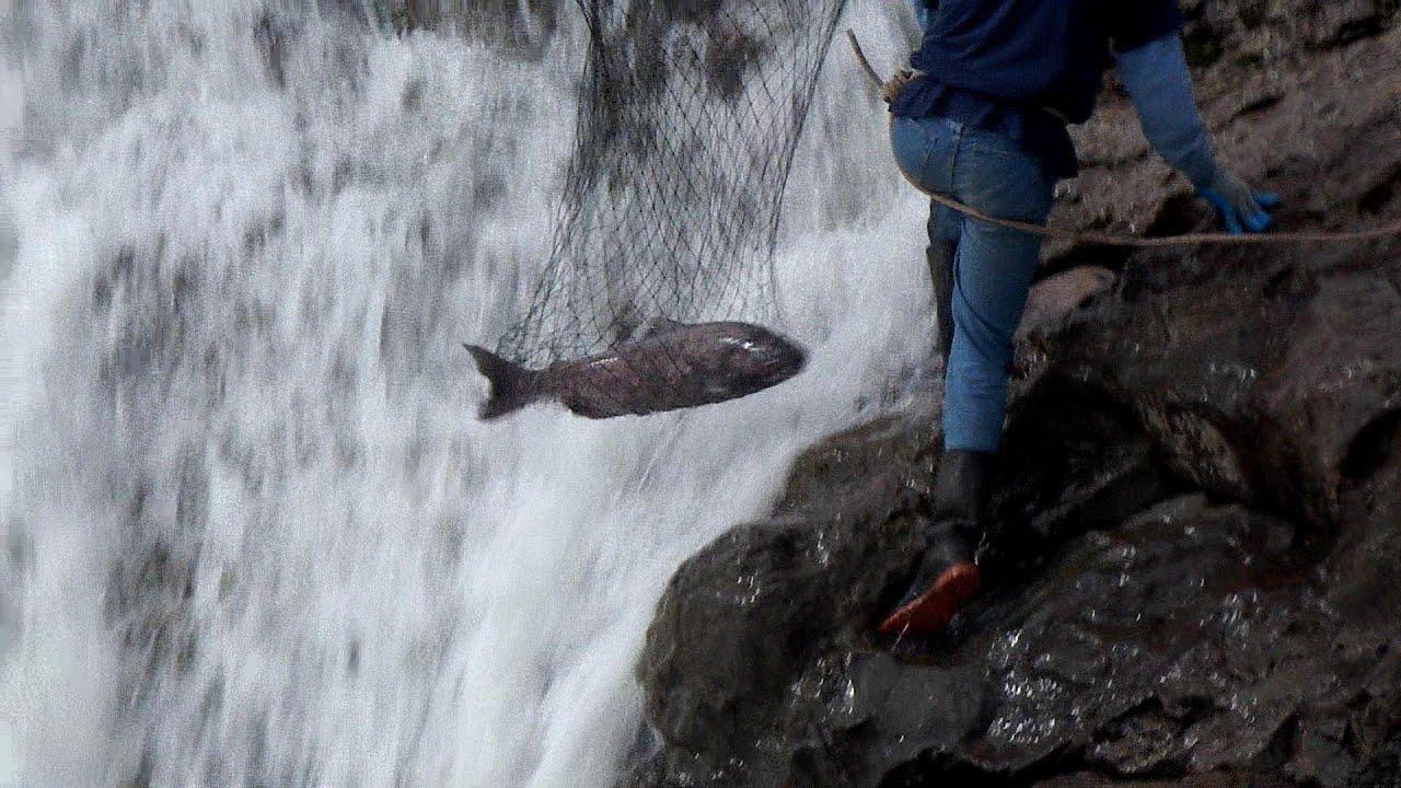 Salmon fishing at moricetown bc youtube for British columbia fishing license