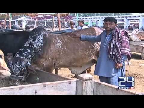 24 Report: Decoration in peshawar cattle markets for Eid ul Azha