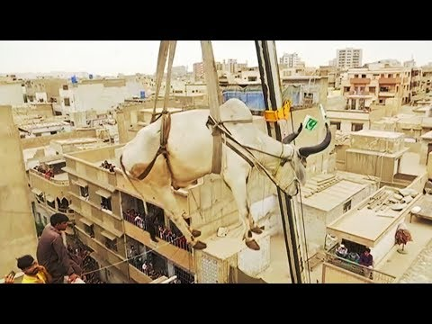 Sacrificial cattle get crane lifted from rooftop in Pakistan