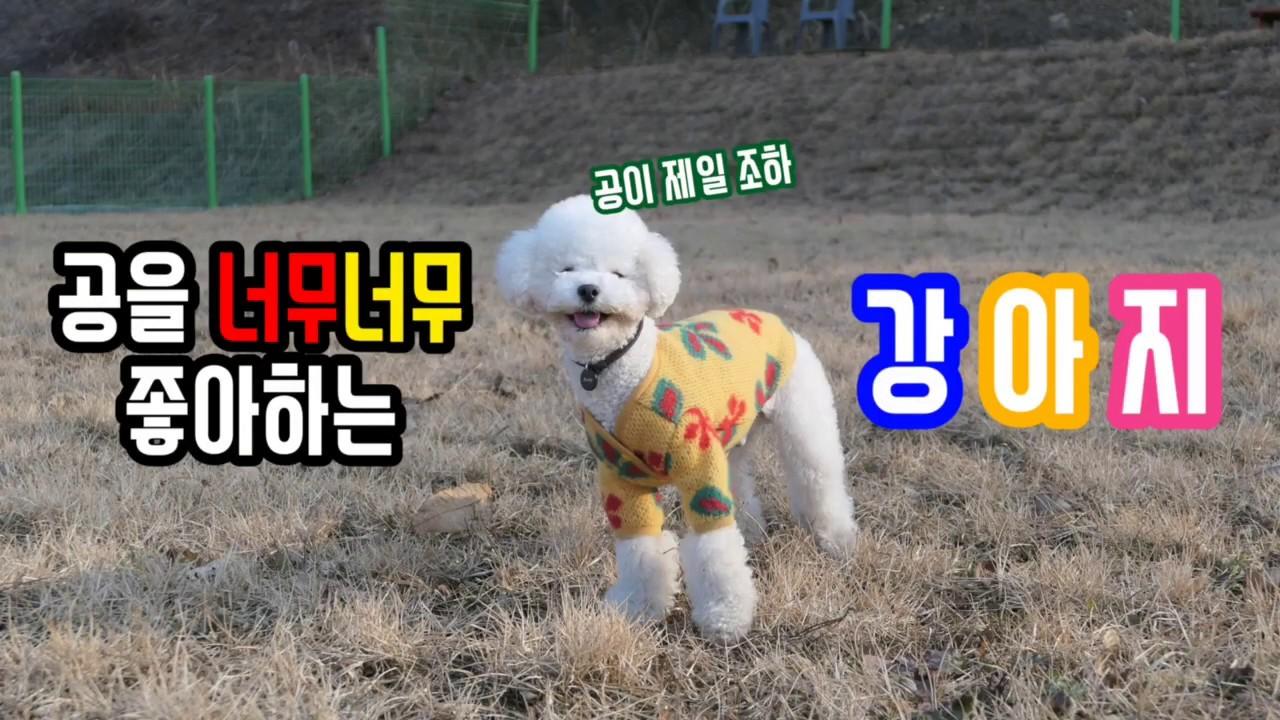강아지 vlog _ 정말 이렇게까지 공을 좋아하는 강아지는 없을것이다...