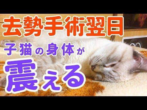 去勢手術翌日の夜。元気もなく身体が震える子猫