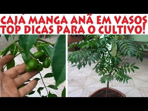 Como Plantar E Cuidar Da Caja Manga Ana Em Vasos Youtube