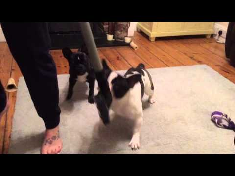 French Bulldogs (frenchies) attacking the...