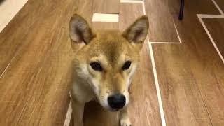 Собака говорит по японски говорящая собака говорящий пёс