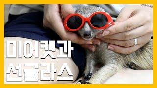 미어캣과 선글라스 [냥이아빠]