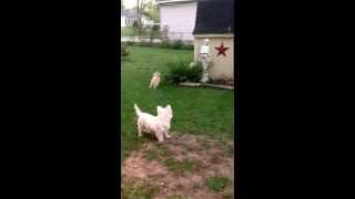 Speed Racer Westie Teasing The Poodle